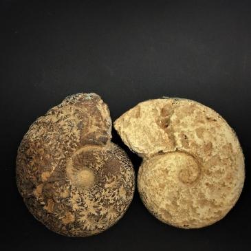 Ammonite Fossil Pair back